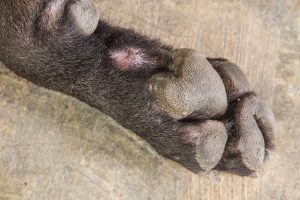 My Dog Has Hard Paw Pads...What Does This Mean?
