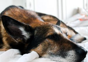 At-Home Care for Dogs Recovering from Distemper