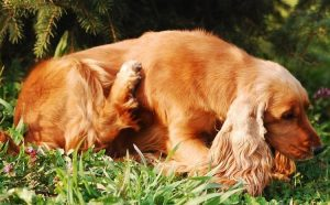 Canine Distemper Vaccine Side Effects And Reactions