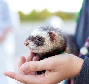 What You Need To Know About Ferret Distemper