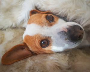 Everything You Need to Know About Pinkeye in Dogs with Distemper
